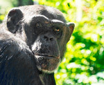 CHIMPANSEE IN ARTIS,