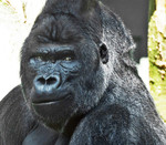 GORILLA IN ARTIS, AM
